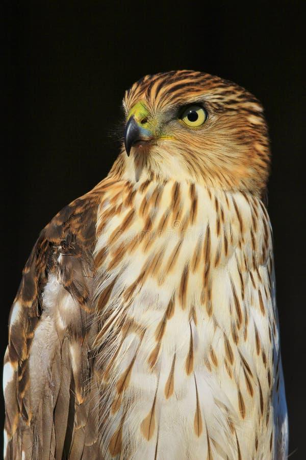 Cooper`s Hawk - Stare of Focus stock image