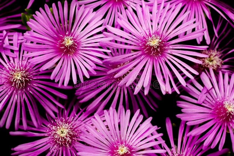 Cooper`s iceplant purple flower close up. Copper`s iceplant Delosperma cooperi pink flower bush close up blossom stock photo
