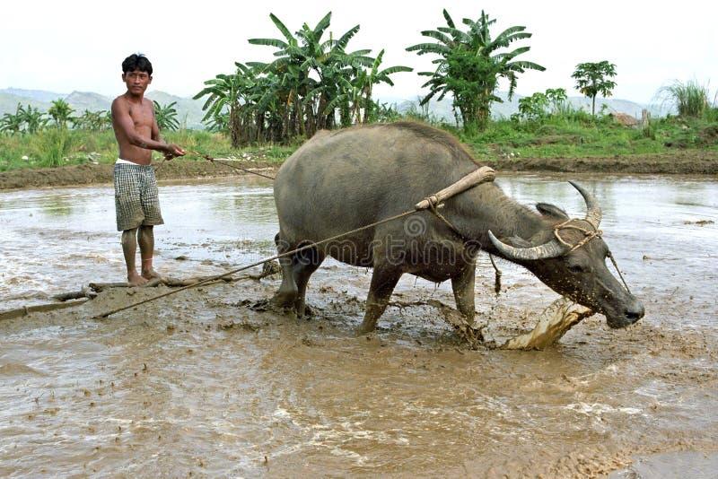 Cooperación entre el ser humano y el animal, búfalo imagen de archivo