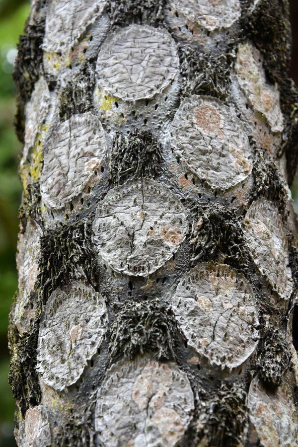 Cooperi australiano del cyathea della felce di albero immagini stock