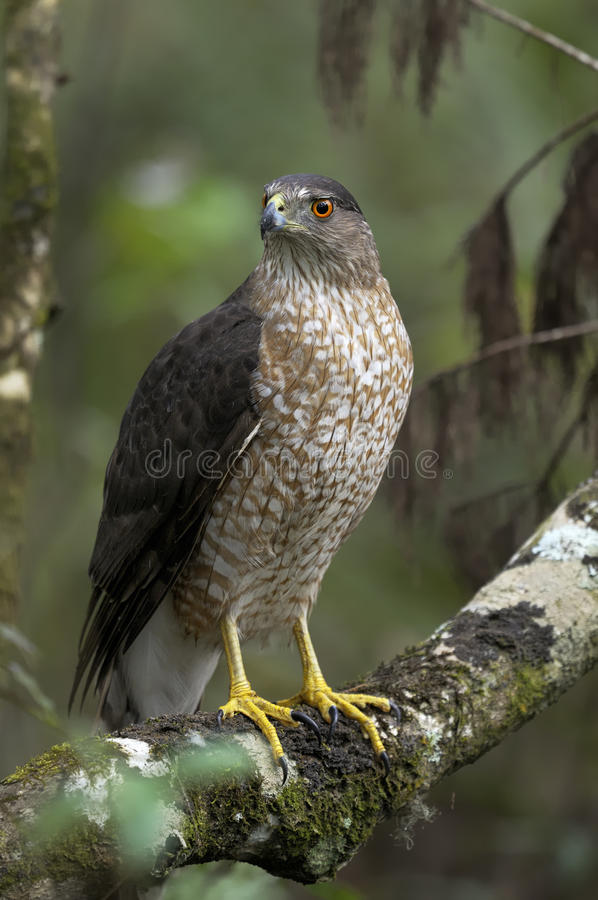 Download Coopers Hawk, Accipiter Cooperii Stock Photo - Image: 11180062