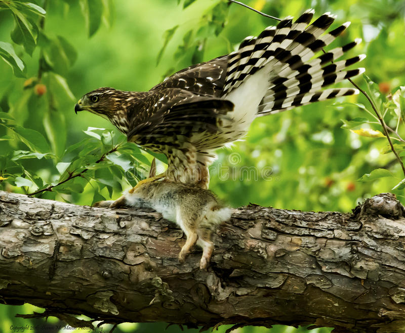 Coopers Hawk with rabbit kill stock image