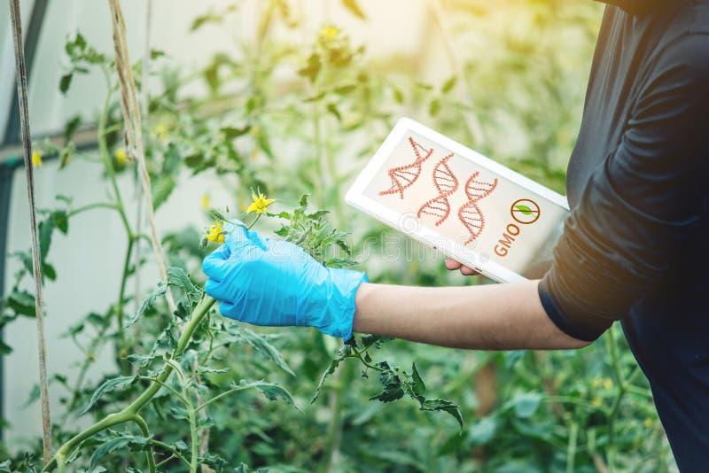 Coordenador genético do cientista da mulher que testa a planta para a presença de alteração genética Produtos e organismos de GMO fotos de stock royalty free