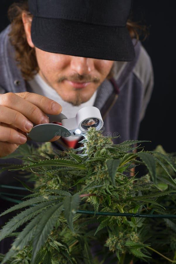 Coordonnée de l'homme vérifiant le kola de cannabis et le x28 ; St de marijuana de Thousand Oaks photo libre de droits