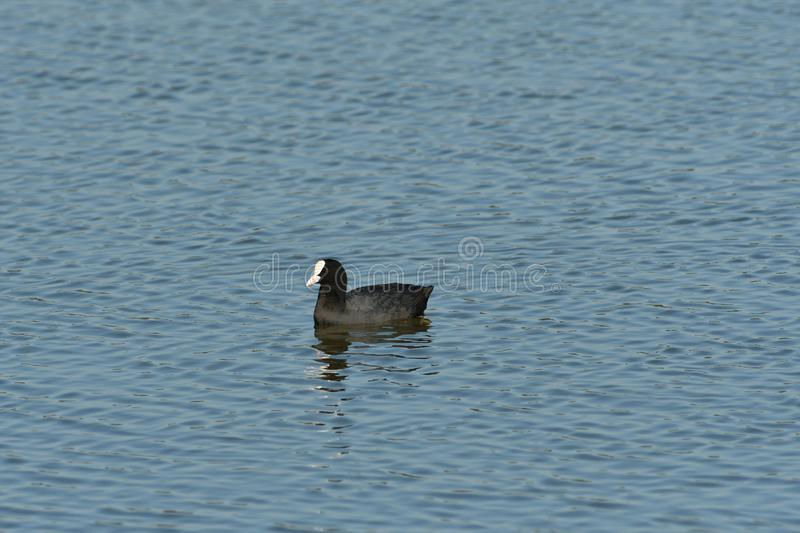 Coot swims over the surface of a pond and hunts for food royalty free stock image
