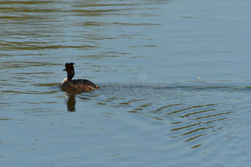Coot swims over the surface of a pond and hunts for food royalty free stock images