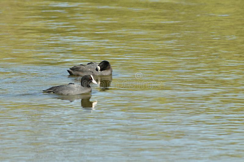 coot swims over the surface of a pond and hunts for food royalty free stock photo