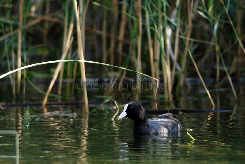 Coot. Eurasian coot swimming near the reed bed royalty free stock photography
