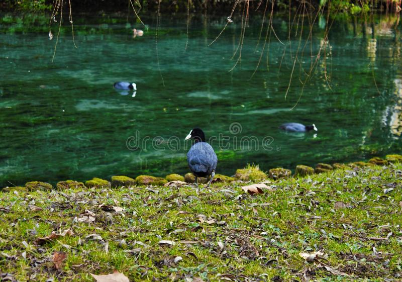 Coot Fulica atra is one of the aquatic species in the Veneto with hundreds of couples nesting. Coot Fulica atra is one of the aquatic species in the Veneto with stock photography