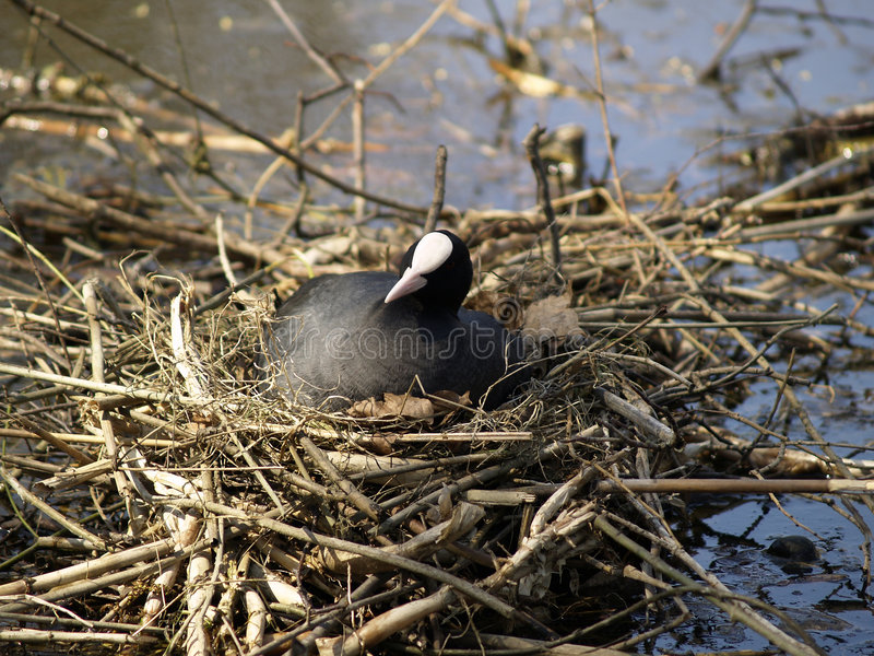 Coot On Her Nest Stock Photography