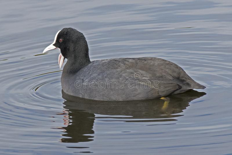A coot with open beak. A Coot with an open beak on the Cemetery Lake, Southampton Common, Hampshire, UK stock images