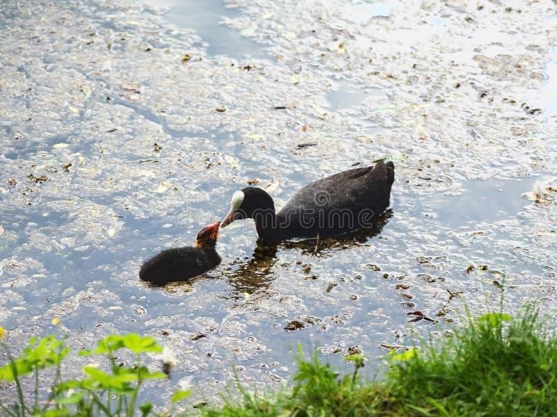 Coot ptak z małymi potomstwami na stawie zdjęcie royalty free
