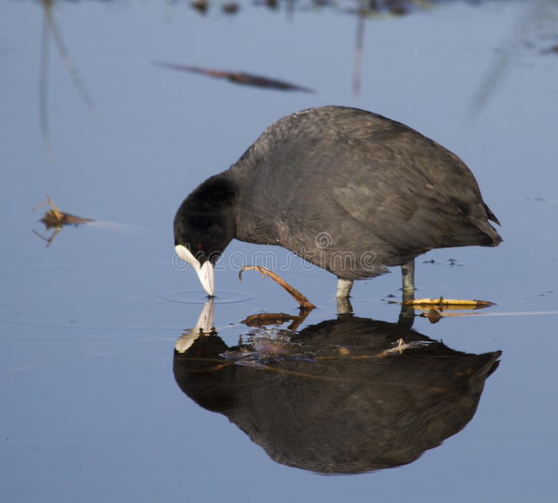 Download Coot with reflection stock photo. Image of reflection - 25985984