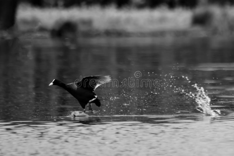 Coot running on water stock image