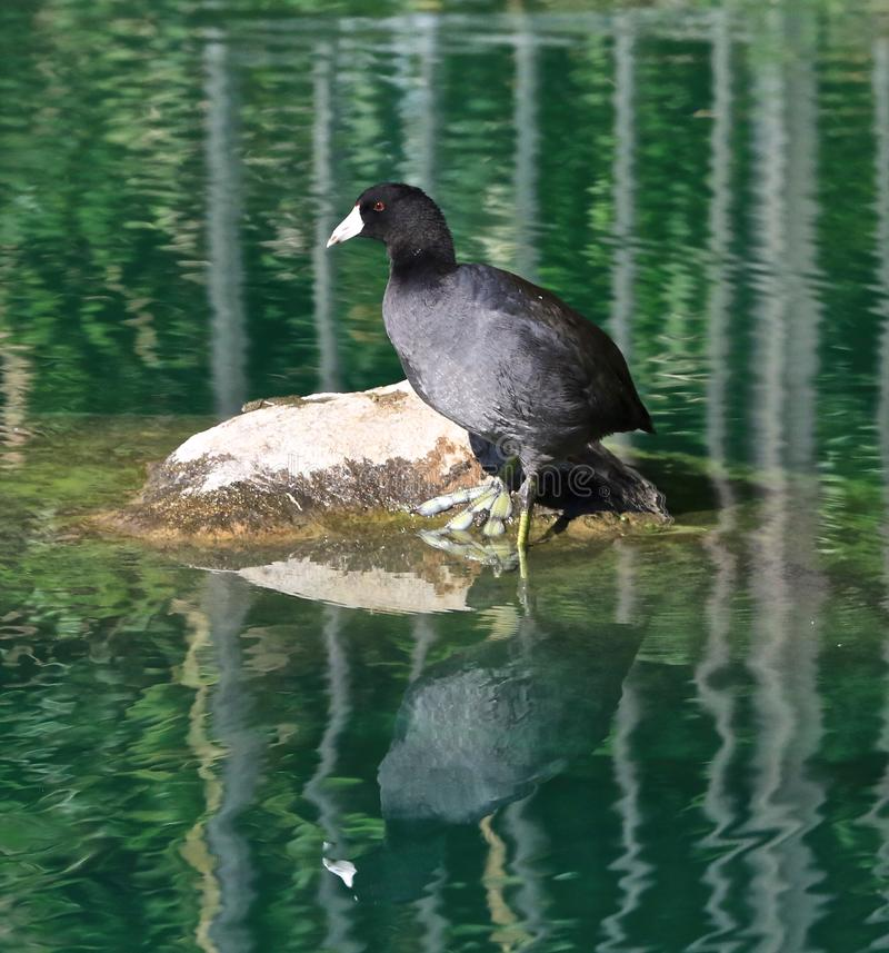 Coot small water bird duck. Black feathered white beak small water bird called a royalty free stock image