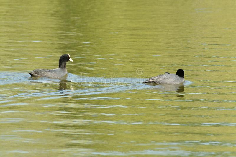 Coot bird floating on water pond portrait royalty free stock photo
