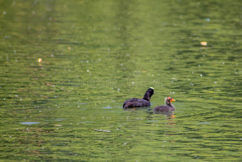 The Coot is a water bird of black color: it is distinguished by a typical white spot on the forehead shield which takes up the l stock image