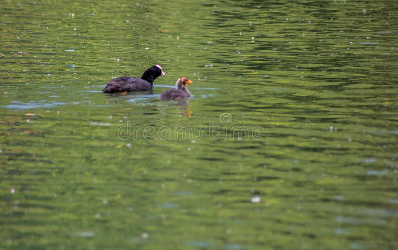 The Coot is a water bird of black color: it is distinguished by a typical white spot on the forehead shield which takes up the l. Ight color of the beak. The royalty free stock photos
