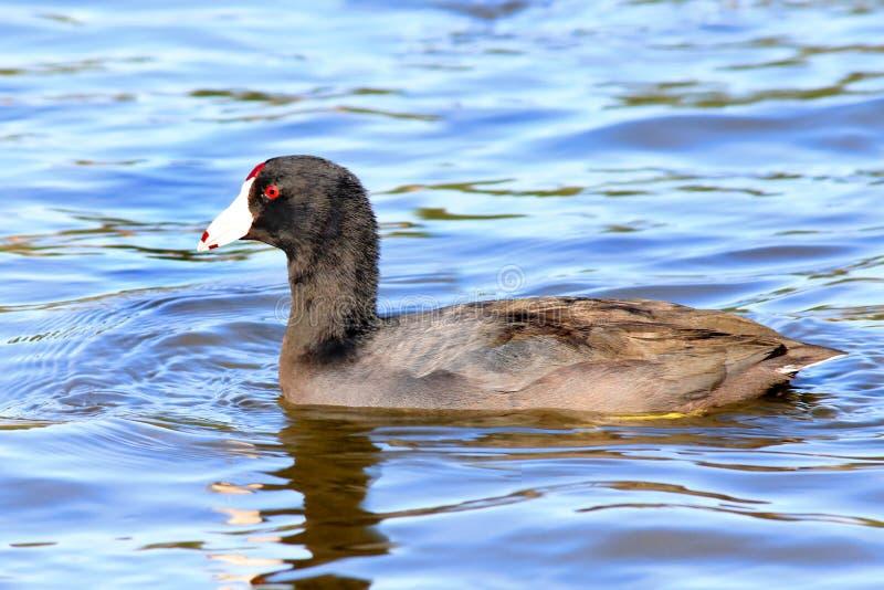 Coot water bird Fulica Duck. S stock images