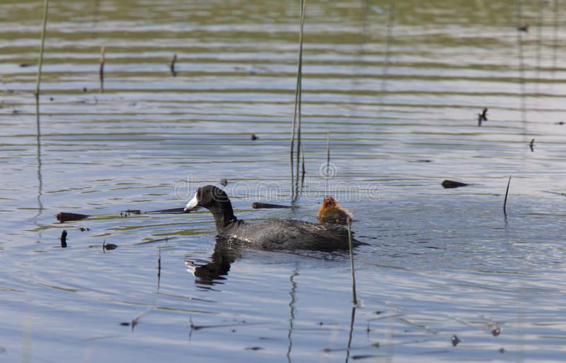 Download Coot Or Waterhen Sitting On Eggs Stock Photo - Image of bill, orange: 23317618
