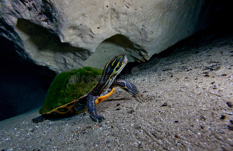 Cooter de la península - Morrison salta caverna foto de archivo