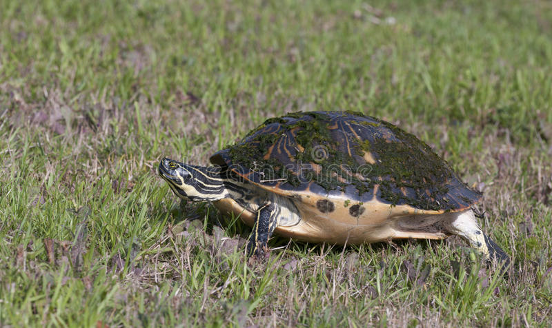 Download Turtle Stock Photo - Image: 13932810