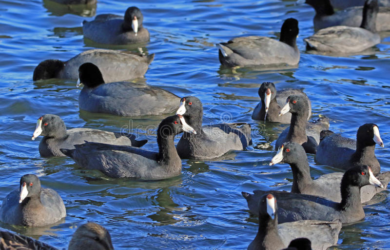 Coots. Mud Hen flock swimming in blue water royalty free stock image