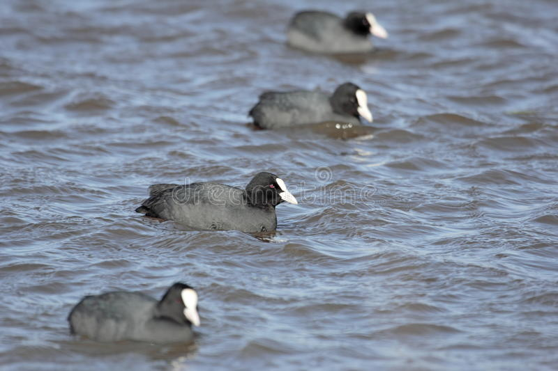 Coots swimming in a lake royalty free stock photo