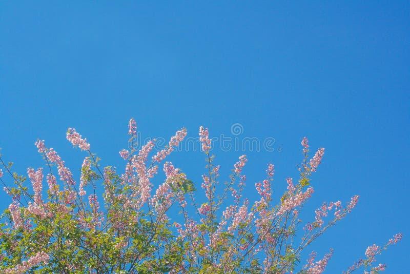 Copa de árvore da flor cor-de-rosa de sakura que floresce no fundo vívido do céu azul foto de stock