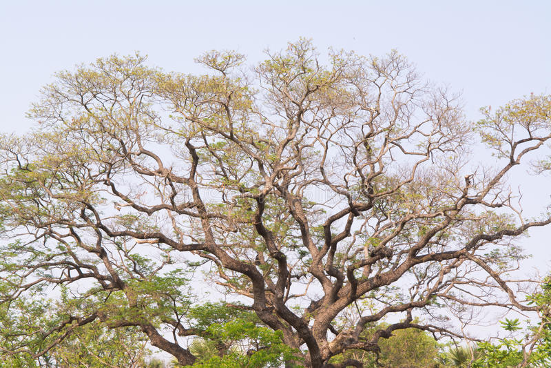 Copa de árvore grande. fotos de stock