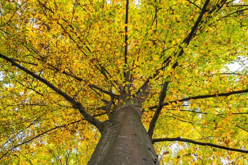 Copa de la haya cubierta en hojas de otoño amarillas imagen de archivo