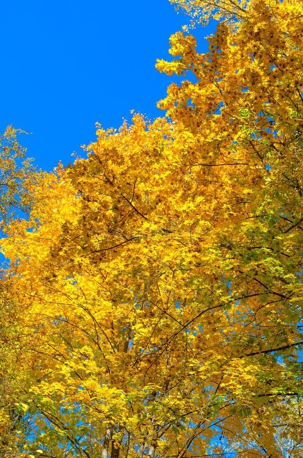 Copa en otoño, hojas amarillas imagen de archivo