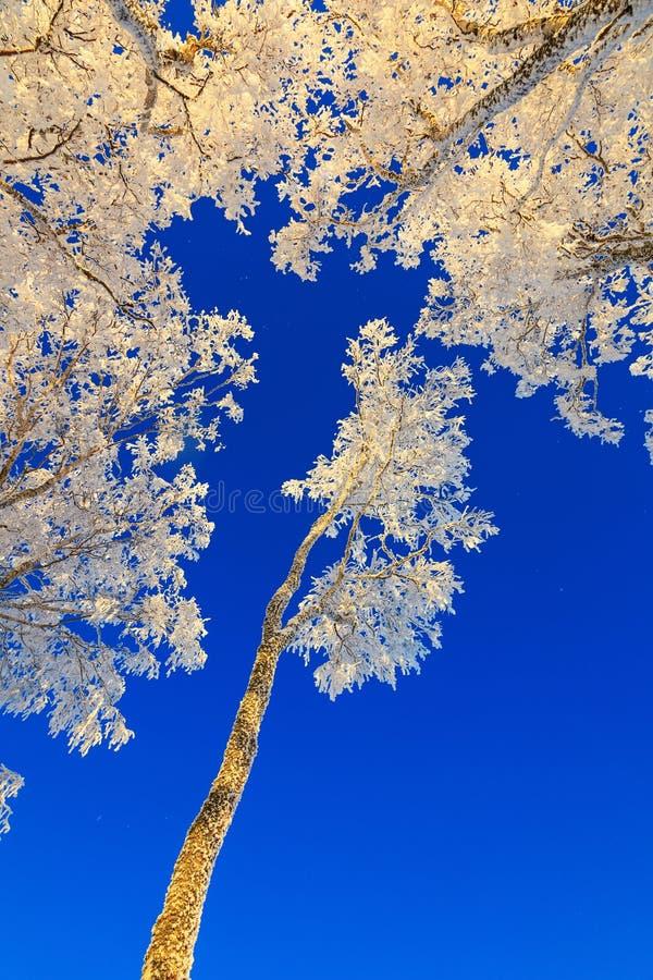 Copas de árvore cobertos de neve imagens de stock