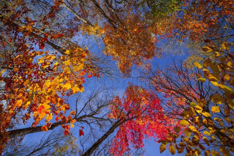 Copas de árvore na floresta da queda fotos de stock royalty free