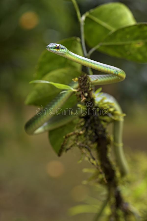 Cope`s short-nosed Vine Snake - Oxybelis brevirostris. Beautiful small green non venoumous snake from Central America forest, Costa Rica stock photo