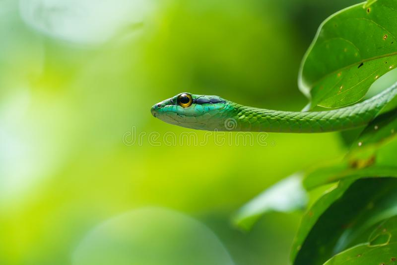 Cope's Vine Snake (Oxybelis brevirostris) in Costa Rica. Copes, green, nature, parks, animal, animals, central, america, reptile, reptiles stock photography