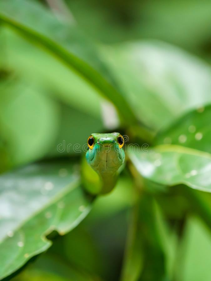 Cope's Vine Snake (Oxybelis brevirostris) in Costa Rica. Copes, green, nature, parks, animal, animals, central, america, reptile, reptiles stock images