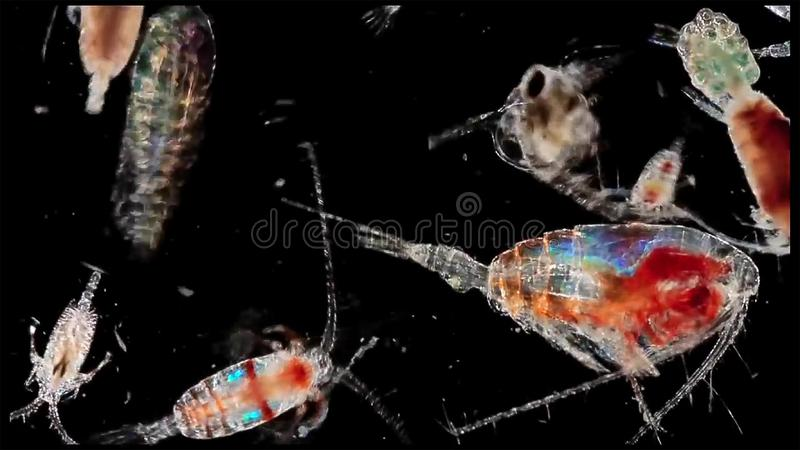 Copepod zooplankton an krill in freshwater and Marine under microscope. Micro life concept royalty free stock photography