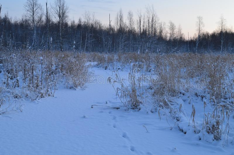 Copertura bianca della neve su un fiume forestale sulle tracce di animali selvatici all'alba d'inverno fotografia stock libera da diritti