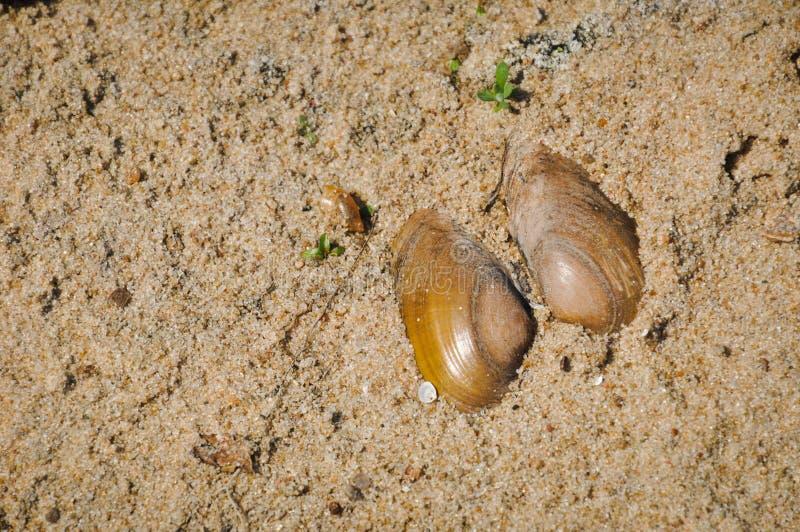 Coperture aperte del bivalve d'acqua dolce sulla sabbia immagini stock