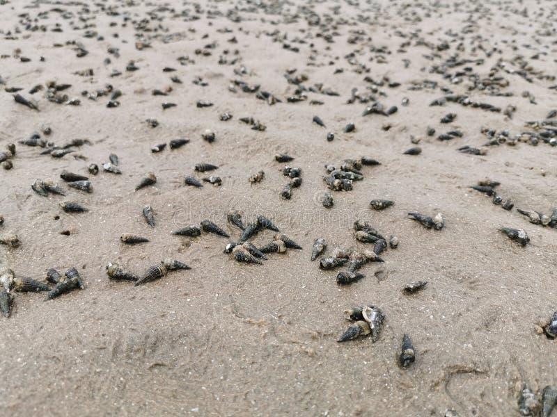 Coperture della coclea, una conchiglia sulla spiaggia immagine stock libera da diritti