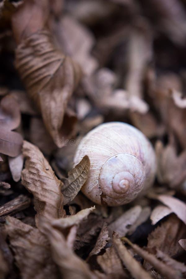 Coperture della lumaca nelle foglie asciutte immagini stock