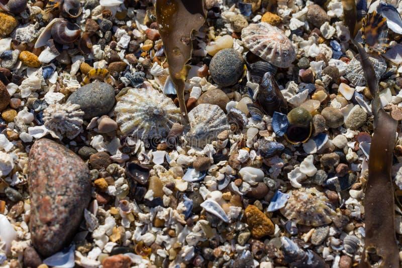 Coperture della patella, coperture e pietre su una spiaggia fotografia stock