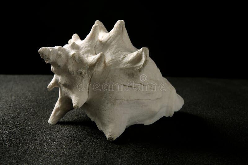 Coperture di bianco della lumaca di mare della conca immagine stock libera da diritti