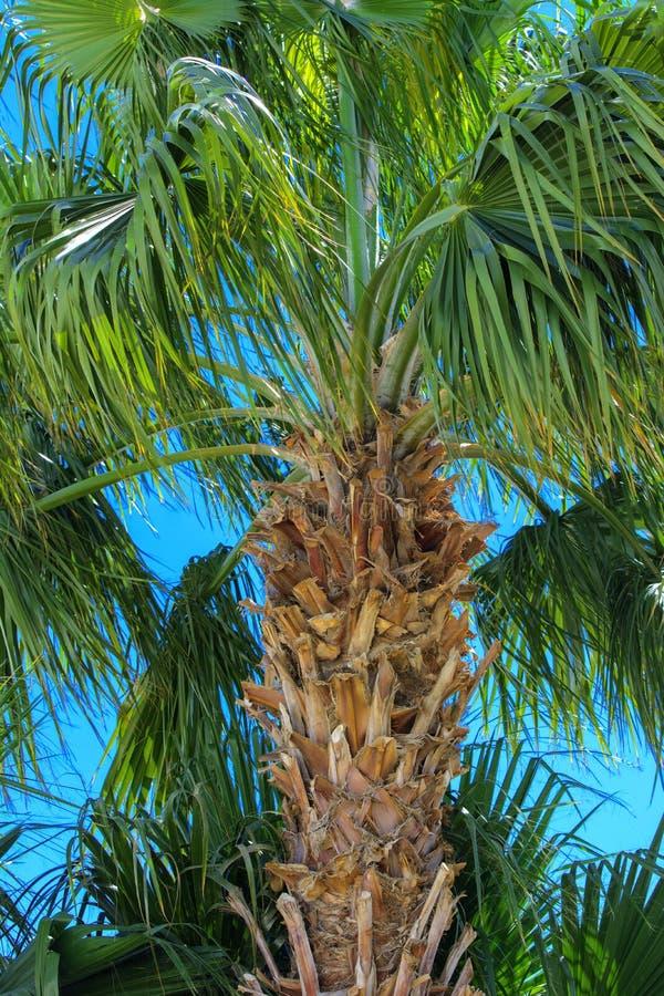 Copi lo spazio Siluetta del ramo superiore di un albero tropicale del cocco contro un cielo blu e una luce intensa immagini stock