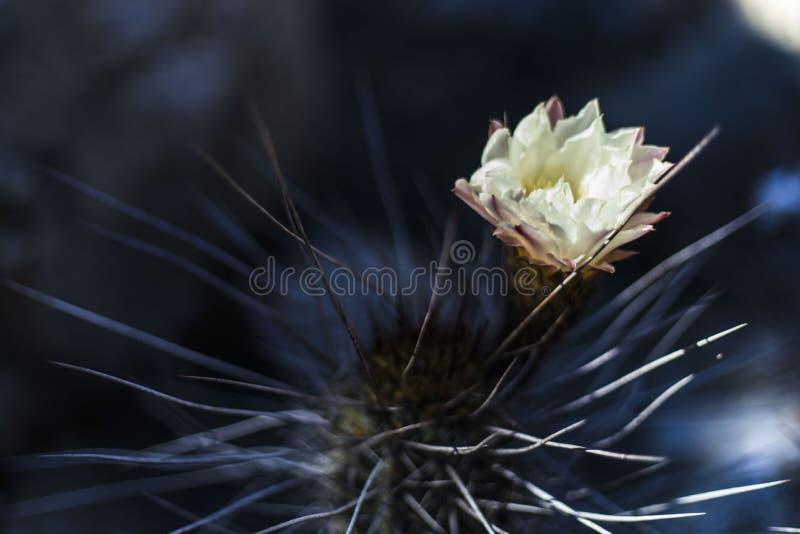 Copiapoa-Kaktus, der mit einer netten weißen Blume während der Frühlings-Saison, Atacama, Chile blüht lizenzfreie stockfotografie