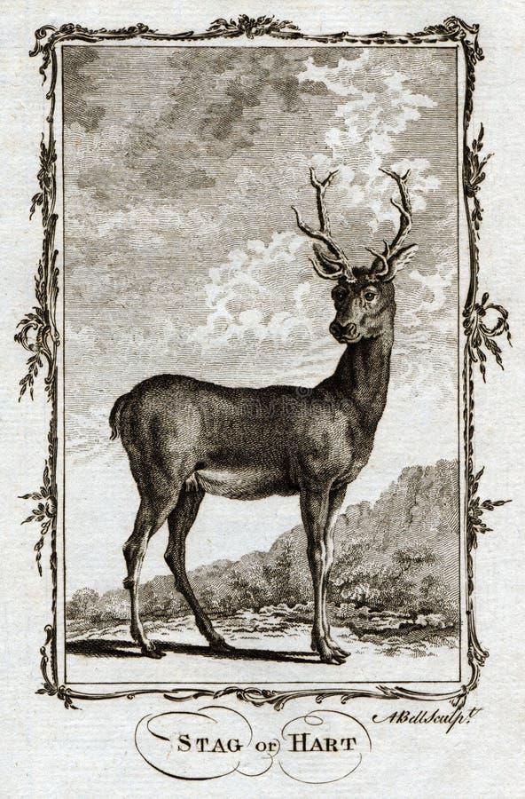 Copie 1770 animale d'antiquité de Buffon d'un mâle ou d'un Hart Deer illustration stock