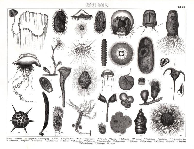 Copie antique de 1874 Bilder de diverses espèces de plancton illustration libre de droits
