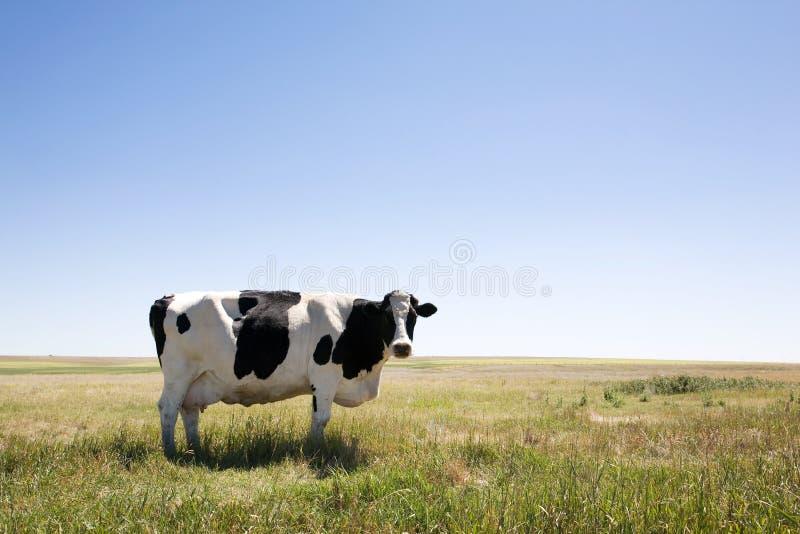 Copie a vaca do espaço foto de stock