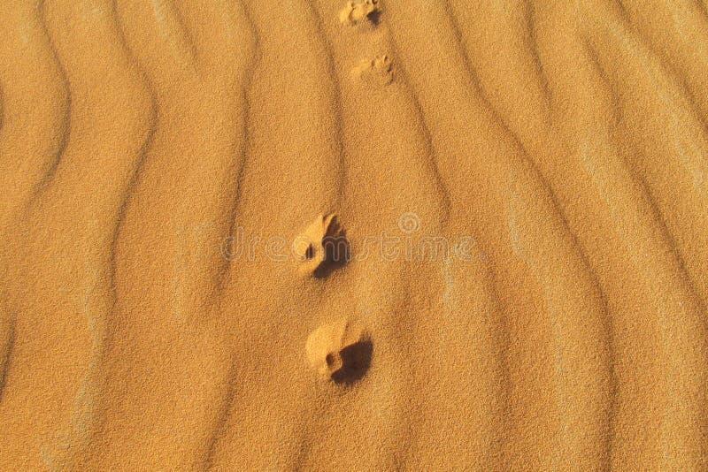 Copies de pied d'un petit renard sur le sable image libre de droits